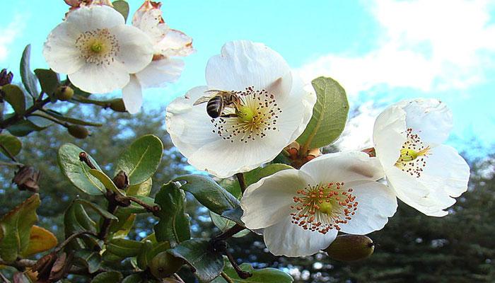 El Muermo atrae a las abejas