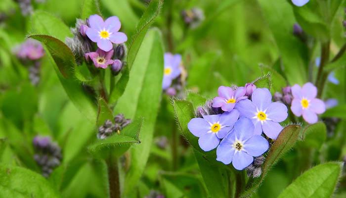 Flor de Myosotis de hoja ancha