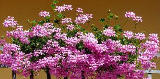 Gitanilla (Pelargonium peltatum)