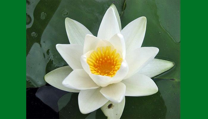 Hermosa flor de Adarga