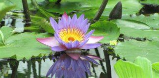 Loto azul (Nymphaea caerulea)