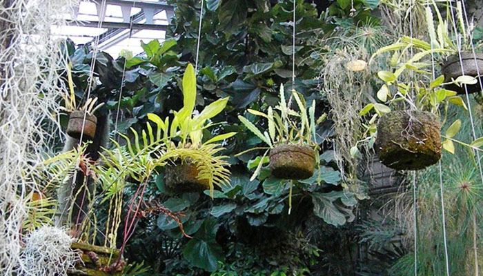 Epidendrum en Macetas colgantes