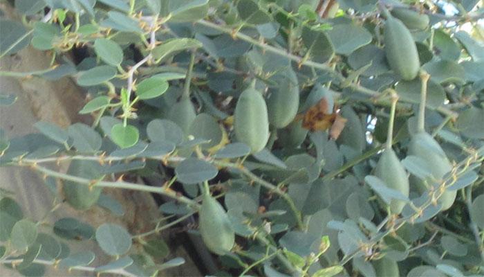 Alcaparrera (Capparis spinosa)