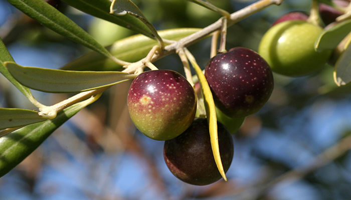Frutos de la olivera