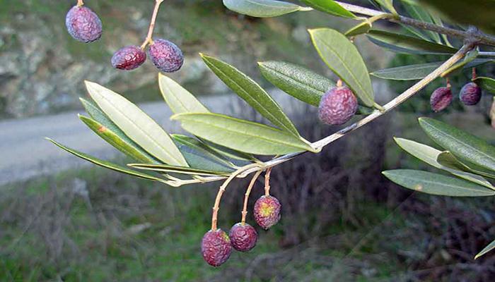 Hojas de la olivera