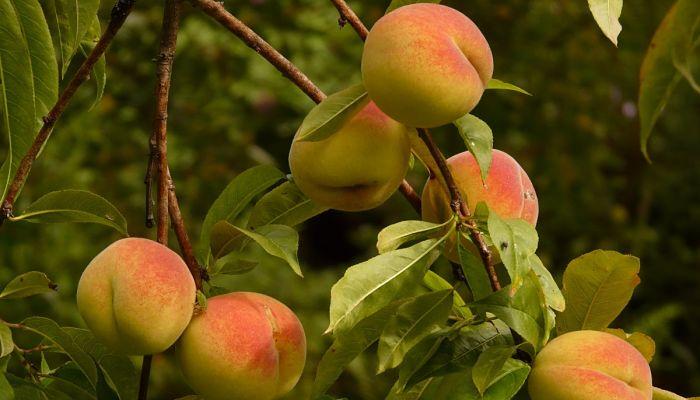 Fruta del melocotonero