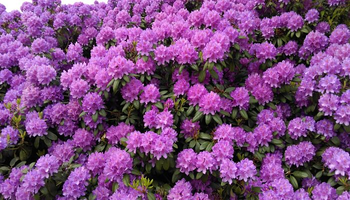 Rododendro púrpura