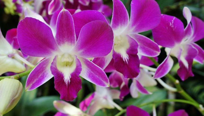 Orquidea común