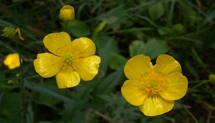 botón de oro (Ranunculusacris)