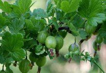 uva espinoza