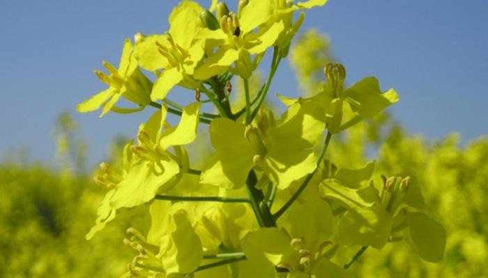 brassica napus flor