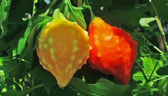 Balsamina (Momordica Charantia).