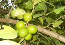 Limero (Citrus aurantifolia)