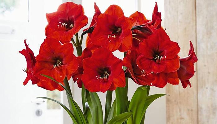 Amaryllis (Amaryllis belladonna)