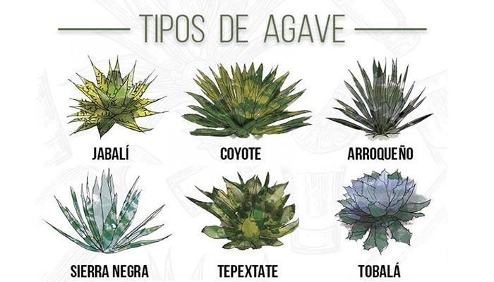 Tipos de Agave