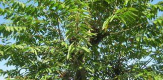 Almecino (Celtis australis)