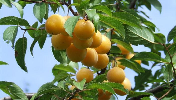Ciruelo europeo (Prunus domestica)