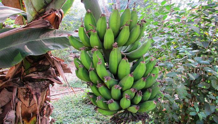 Plátano (Musa paradisiaca)