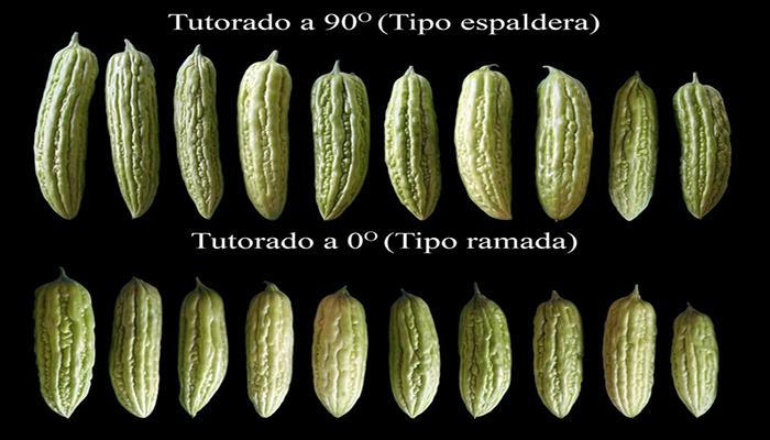 Variedades de frutos de cundeamor (Momordica-charantia)