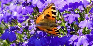Planta que atrae mariposas