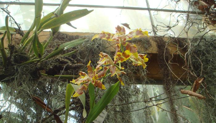 Las orquídeas Oncidium son plantas epífitas