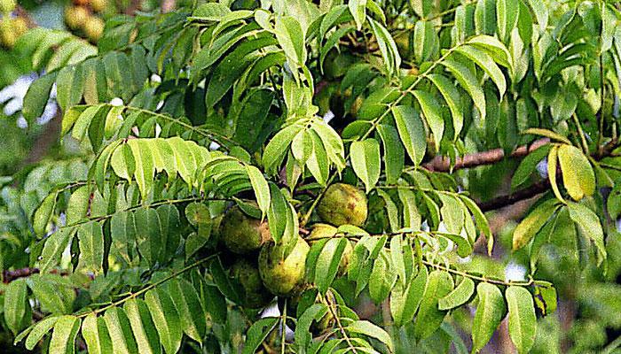 Manzana de oro (Spondias cytherea)