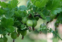 Uva espina (Ribes uva-crispa)