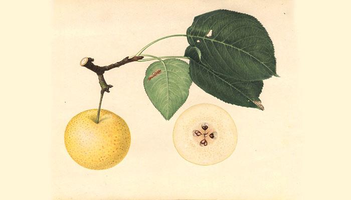 Pera china (Pyrus pyrifolia)