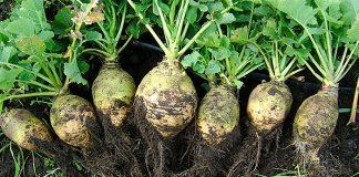 Rutabaga (Brassica napus)