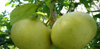 Toronjero (Citrus x paradisi)