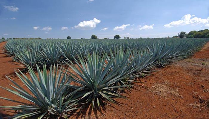 Plantación de Agaves