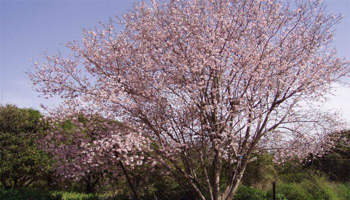 Almendro (Prunus dulcis)