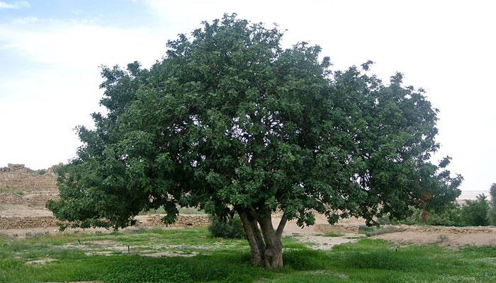 Garrofero (Ceratonia siliqua)