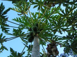 Papayero (Carica papaya)