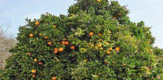 Naranjo dulce (Citrus sinensis)