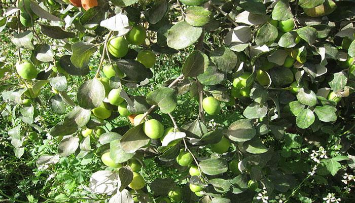 Follaje y frutos