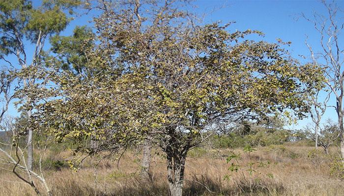 Jinjolero (Ziziphus mauritiana)