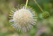 buttonbush 1