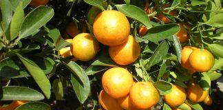 Naranja japonesa (Fortunella crassifolia)