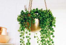 planta collar de perlas