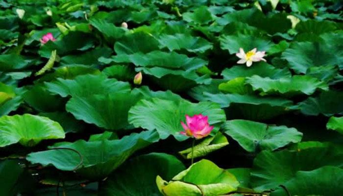 Hojas de Flor de loto