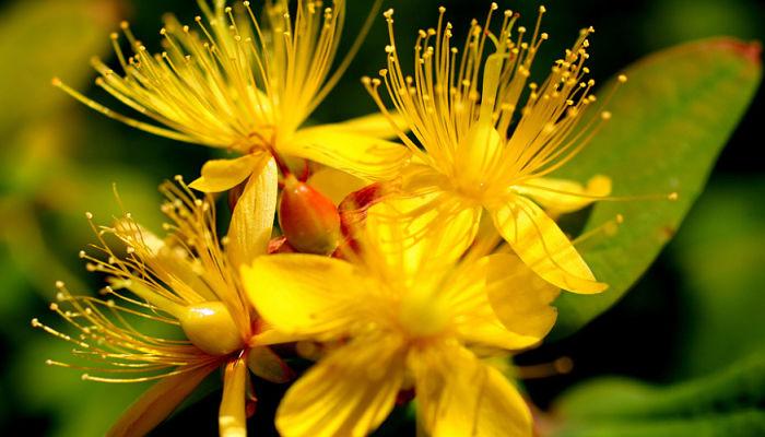 flor de granadillo