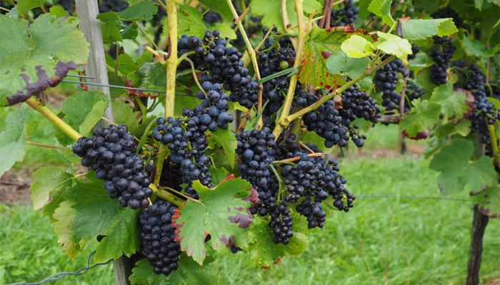 Uva de mesa (Vitis vinífera)