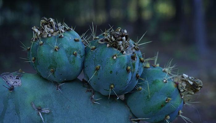 variedades de cactus columnar