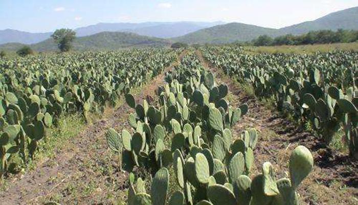 opuntia ficus indica cultivo