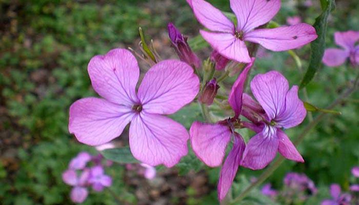 Flores de L. annua