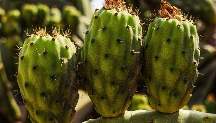 tipos de cactus columnar