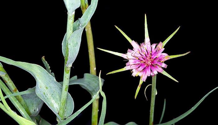 Salsifí (Tragopogon Porrifolius)