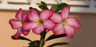 Adeno (Rosa del Desierto)