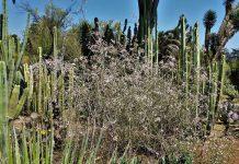 cactus órgano